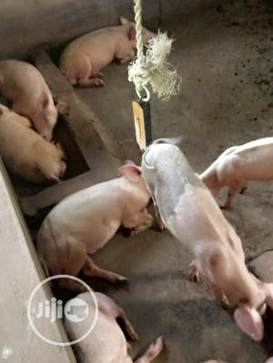 Pig for Sell | Livestock & Poultry for sale in Oyo State, Ido