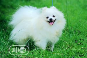 1-3 Month Female Purebred Pomeranian | Dogs & Puppies for sale in Lagos State, Surulere