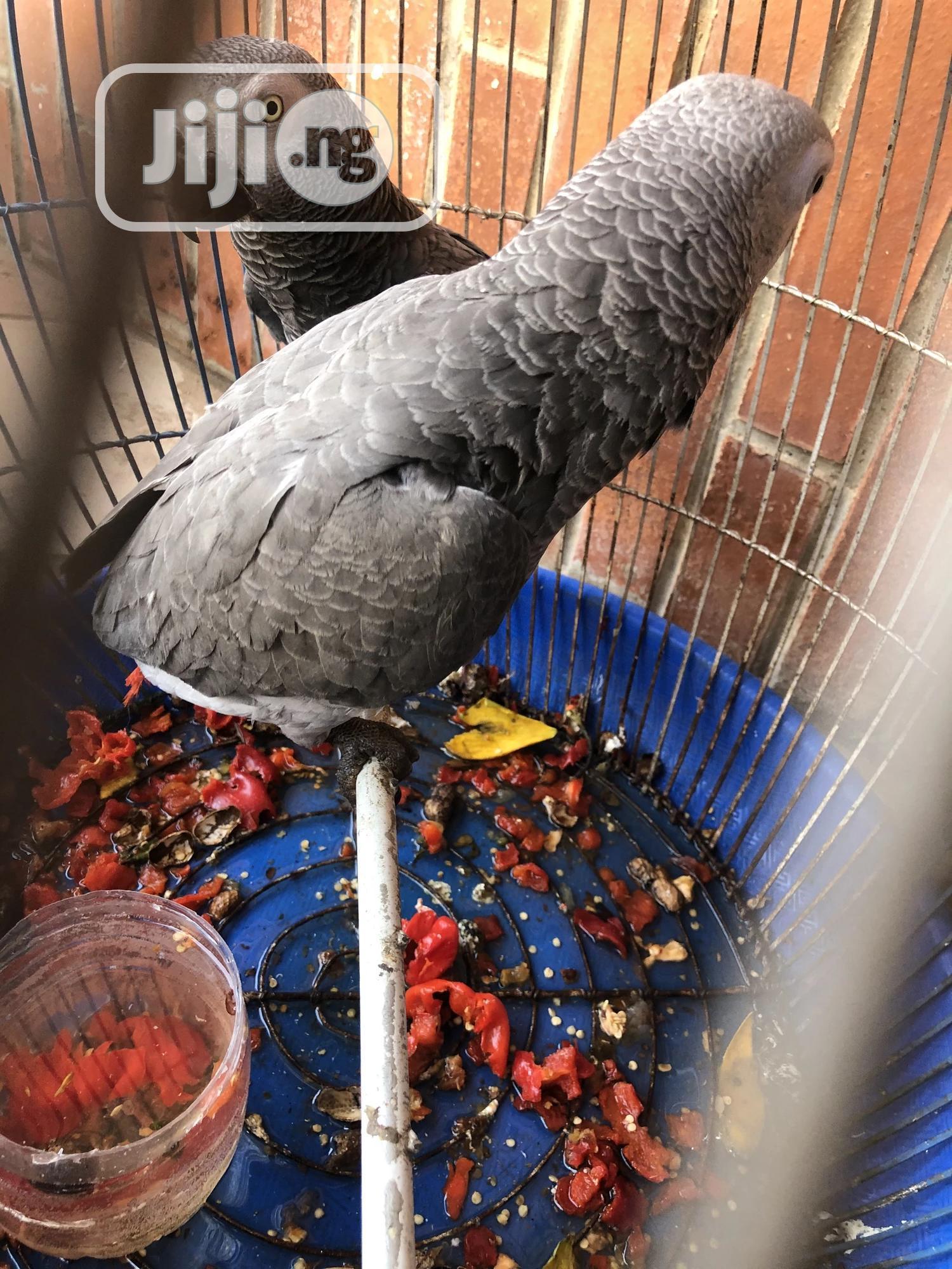 Archive: Grey Parrots
