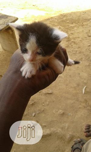 1-3 Month Male Mixed Breed Turkish Van | Cats & Kittens for sale in Abuja (FCT) State, Nyanya
