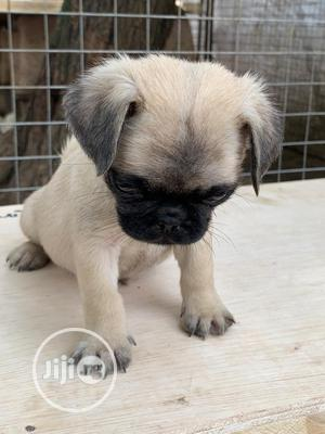 1-3 Month Female Purebred Pug | Dogs & Puppies for sale in Oyo State, Ibadan