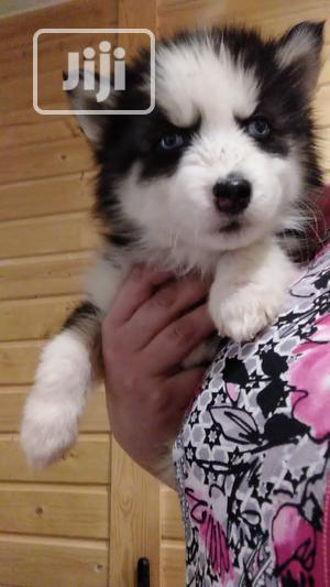 1-3 Month Male Purebred Siberian Husky | Dogs & Puppies for sale in Lagos State, Isolo
