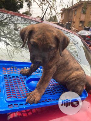 0-1 Month Male Purebred Boerboel   Dogs & Puppies for sale in Enugu State, Enugu
