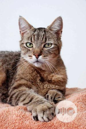 1-3 Month Female Purebred Savannah | Cats & Kittens for sale in Lagos State, Ikorodu