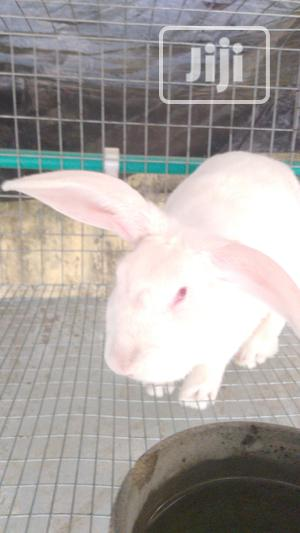 Rabbit Colony for Sale   Livestock & Poultry for sale in Lagos State, Agege