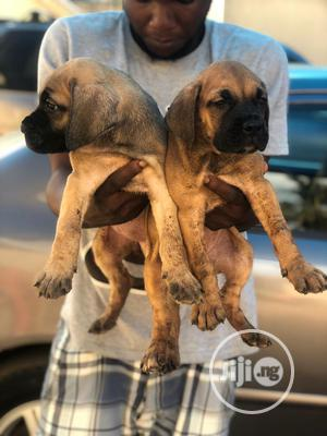 3-6 Month Male Purebred Boerboel | Dogs & Puppies for sale in Rivers State, Port-Harcourt