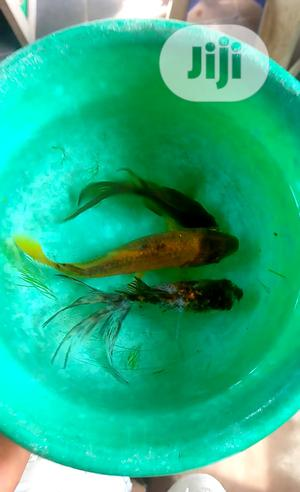 Shubunkin, Calico and Koi Cap Fish | Fish for sale in Lagos State, Surulere