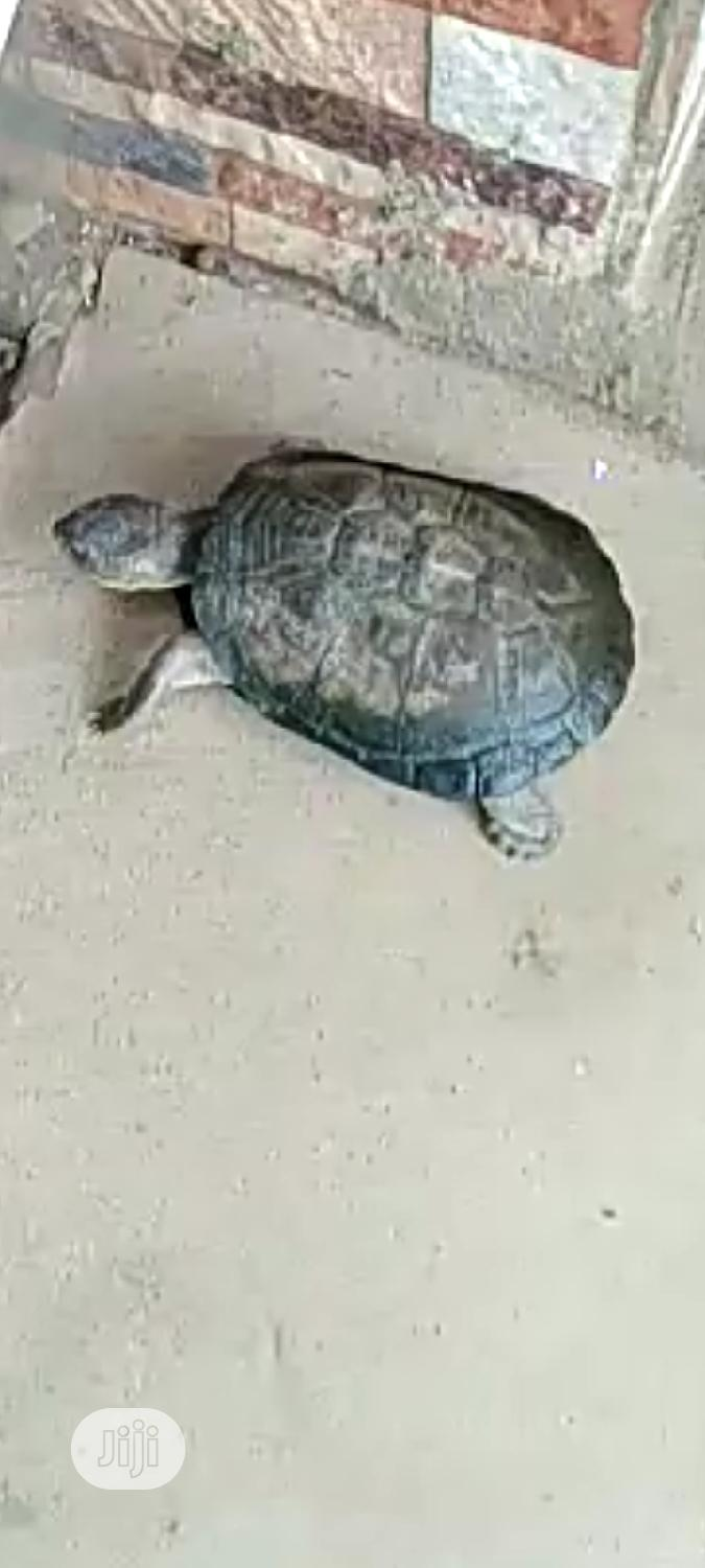 Water and Land Tortoise | Reptiles for sale in Surulere, Lagos State, Nigeria