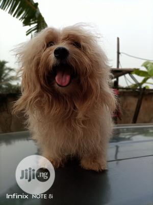 1+ year Male Purebred Lhasa Apso | Dogs & Puppies for sale in Anambra State, Awka