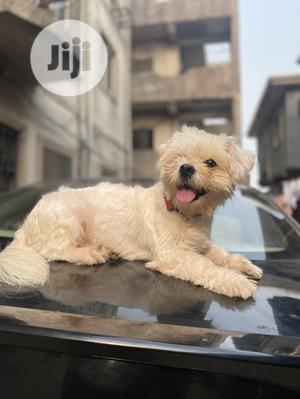 1+ Year Male Purebred Maltese   Dogs & Puppies for sale in Lagos State, Yaba