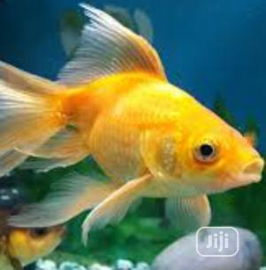 Aquarium Gold Fish   Fish for sale in Lagos State, Surulere