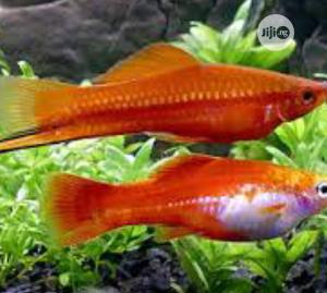Swordtail Fish | Fish for sale in Lagos State, Surulere
