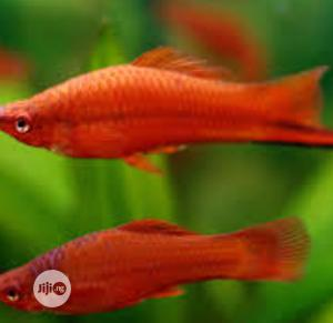 Aquarium Swordtail Fish | Fish for sale in Lagos State, Surulere