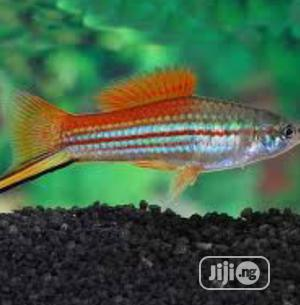 Colourful Swordtail Fish | Fish for sale in Lagos State, Surulere
