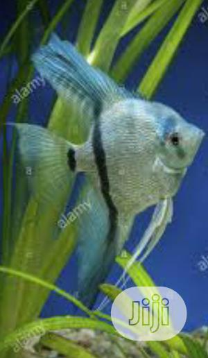 Aquarium Angel Fish Available | Fish for sale in Lagos State, Surulere
