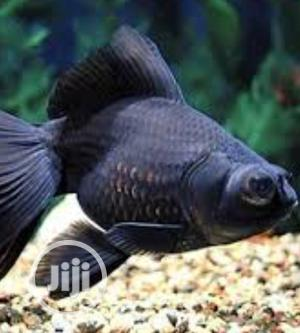 Black Moor Pound Fish | Fish for sale in Lagos State, Surulere