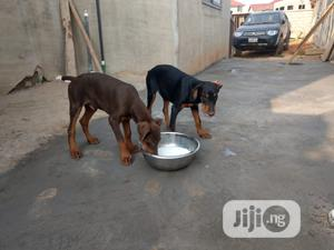 1-3 Month Female Purebred Doberman Pinscher   Dogs & Puppies for sale in Lagos State, Ikeja