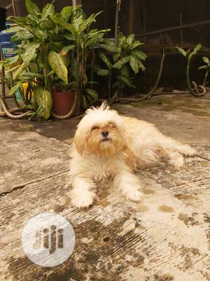 1-3 Month Male Purebred Lhasa Apso | Dogs & Puppies for sale in Oyo State, Ibadan