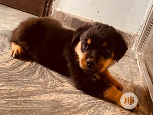 1-3 Month Female Purebred Rottweiler | Dogs & Puppies for sale in Oyo State, Ibadan