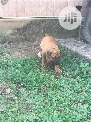 1-3 Month Male Purebred Boerboel | Dogs & Puppies for sale in Lagos State, Lekki