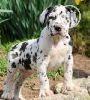 1-3 Month Female Purebred Great Dane   Dogs & Puppies for sale in Lagos State, Surulere