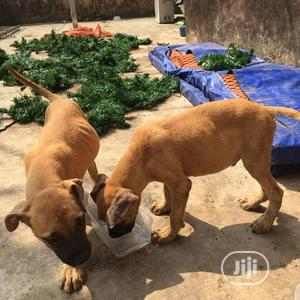 1-3 month Female Purebred Bullmastiff | Dogs & Puppies for sale in Lagos State, Alimosho