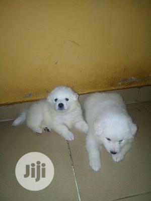 1-3 Month Female Purebred American Eskimo | Dogs & Puppies for sale in Enugu State, Enugu