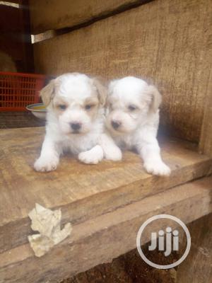 1-3 Month Male Purebred Lhasa Apso | Dogs & Puppies for sale in Enugu State, Enugu