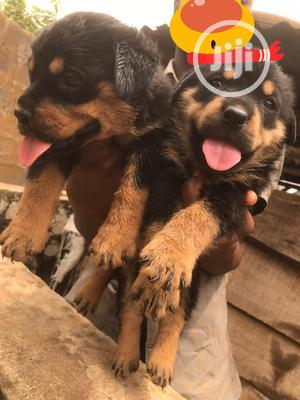 1-3 Month Male Purebred Rottweiler | Dogs & Puppies for sale in Lagos State, Ikeja