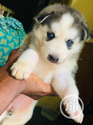 1-3 Month Male Purebred Siberian Husky | Dogs & Puppies for sale in Enugu State, Enugu
