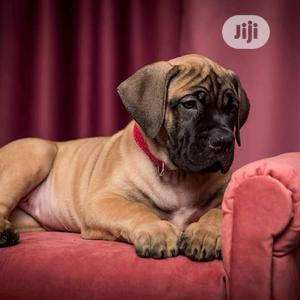3-6 Month Male Purebred Boerboel | Dogs & Puppies for sale in Lagos State, Isolo