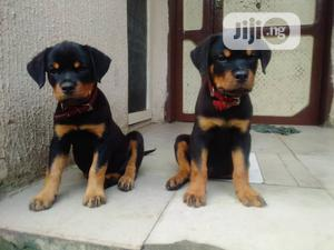 1-3 Month Male Purebred Rottweiler   Dogs & Puppies for sale in Rivers State, Port-Harcourt