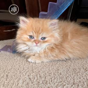 1-3 Month Female Purebred Persian | Cats & Kittens for sale in Lagos State, Maryland