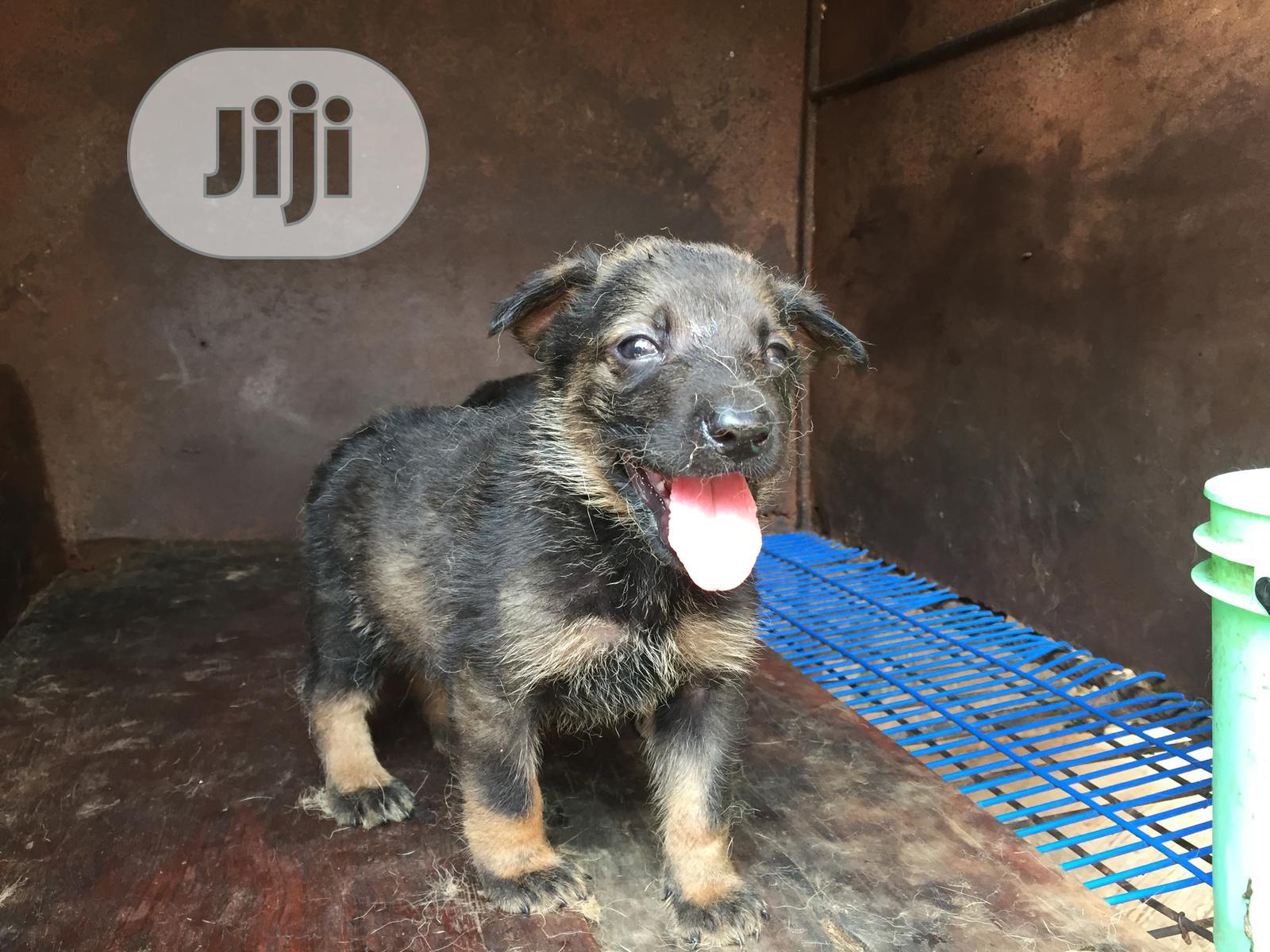 Archive: 0-1 Month Female Purebred German Shepherd