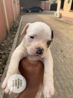 1-3 Month Male Purebred American Pit Bull Terrier   Dogs & Puppies for sale in Lagos State, Ikoyi