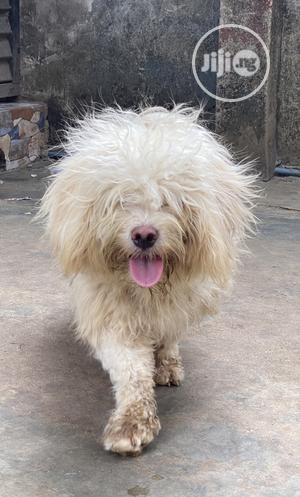 Solid Male Lhasa Apso Available for Stud | Pet Services for sale in Lagos State, Alimosho