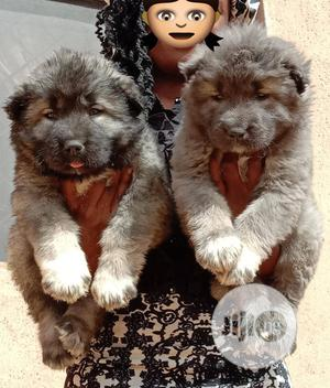 1-3 Month Male Purebred Caucasian Shepherd | Dogs & Puppies for sale in Abuja (FCT) State, Wuse 2