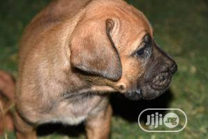 1-3 Month Male Purebred Boerboel | Dogs & Puppies for sale in Abuja (FCT) State, Wuse 2