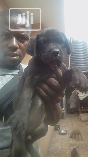 1-3 month Female Purebred Boerboel | Dogs & Puppies for sale in Enugu State, Enugu
