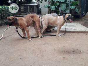 1+ Year Male Purebred Boerboel   Dogs & Puppies for sale in Lagos State, Ifako-Ijaiye