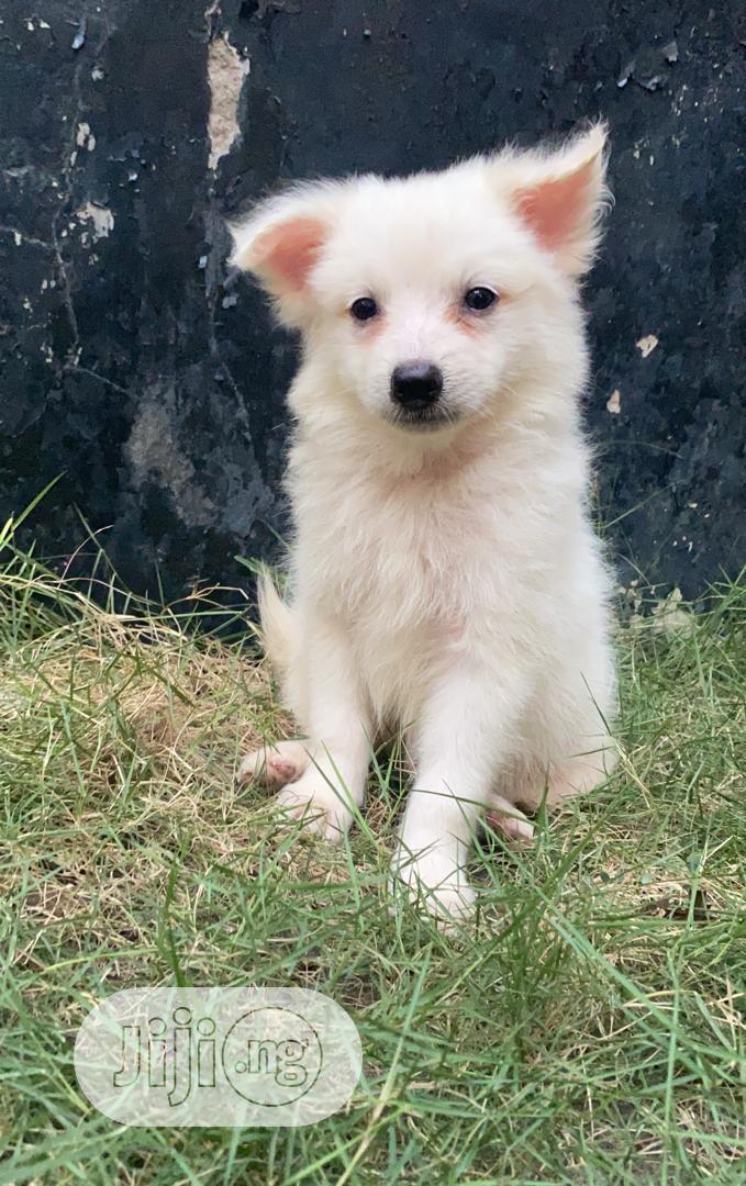1-3 Month Female Purebred American Eskimo   Dogs & Puppies for sale in Ifako-Ijaiye, Lagos State, Nigeria