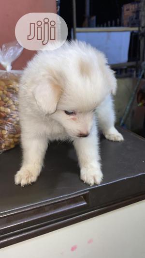 0-1 Month Female Purebred American Eskimo   Dogs & Puppies for sale in Ekiti State, Ado Ekiti