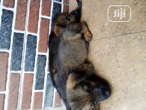 1-3 Month Female Mixed Breed Rottweiler | Dogs & Puppies for sale in Rivers State, Port-Harcourt