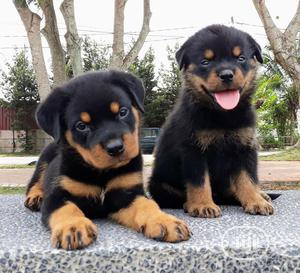1-3 month Female Purebred Rottweiler | Dogs & Puppies for sale in Lagos State, Ikorodu