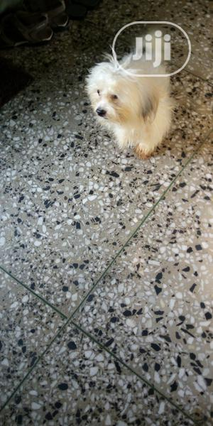 3-6 Month Male Purebred Lhasa Apso   Dogs & Puppies for sale in Lagos State, Lagos Island (Eko)