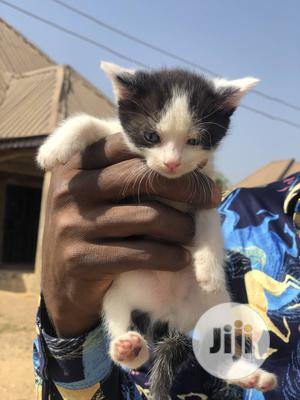 1-3 Month Female Mixed Breed Turkish Van | Cats & Kittens for sale in Abuja (FCT) State, Nyanya