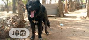 1+ Year Male Purebred Caucasian Shepherd | Dogs & Puppies for sale in Abuja (FCT) State, Jabi