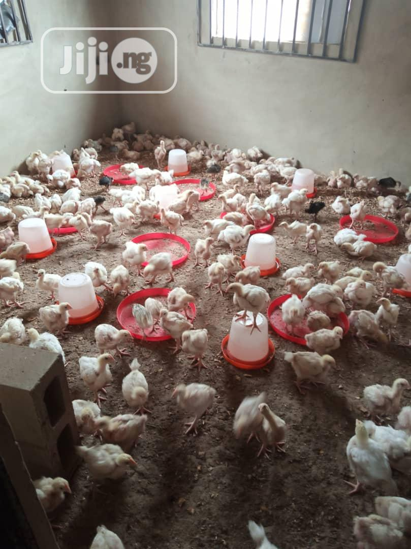 Archive: 4 Weeks Broiler,Noiler And 6 Weeks Turkey Available For Sale