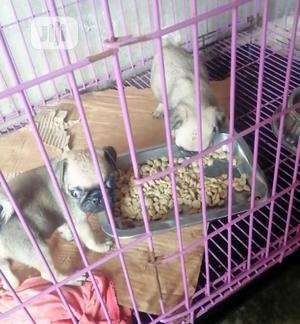 1-3 Month Female Purebred Pug | Dogs & Puppies for sale in Kwara State, Ilorin South