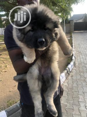 3-6 Month Female Purebred Caucasian Shepherd | Dogs & Puppies for sale in Lagos State, Ikoyi